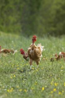 poulet de fontenai 2